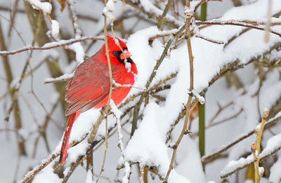 Cardinals, Finches, Buntings, Towhees, Phainopela