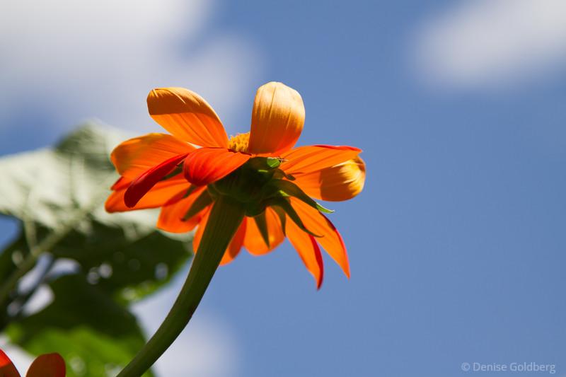 orange flower against a bright blue sky