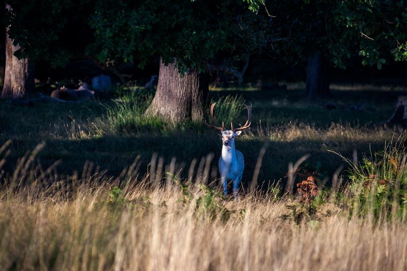 white-deer.jpg