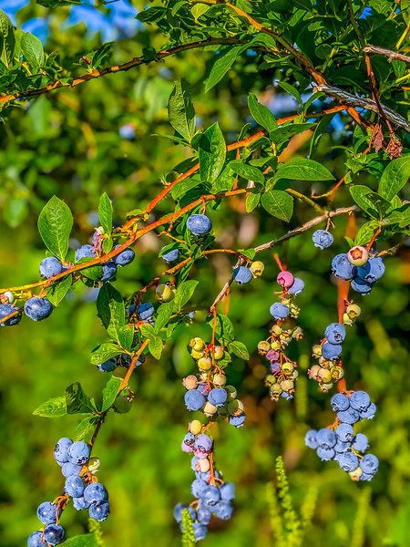 Blueberry Acres-4.jpg