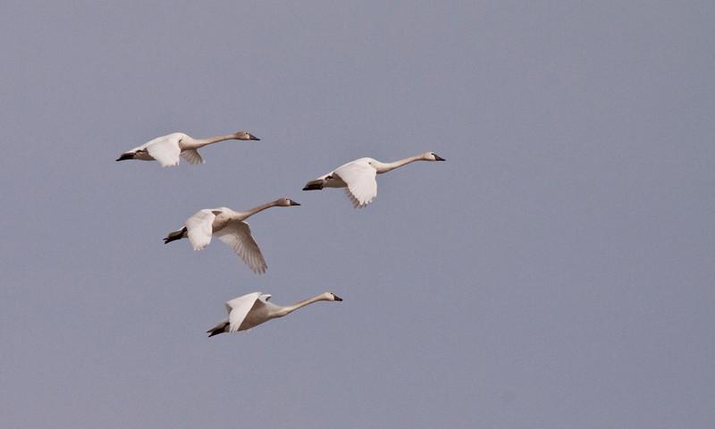2011 swan migration aylmer (43 of 51).jpg
