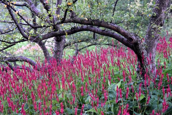 Fire Tail Mt. Fleeceflower