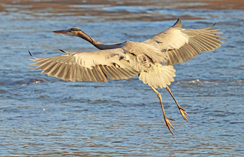 great blue heron on the wing.jpg