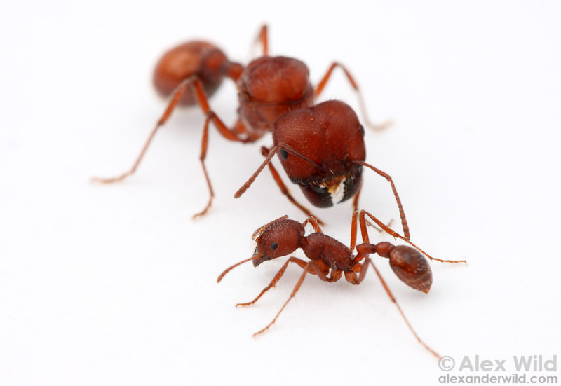 Pogonomyrmex badius, the Florida harvester ant, queen and worker  Archbold Biological Station, Florida, USA
