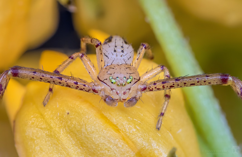 Possibly northern crab spider...still confirming ID