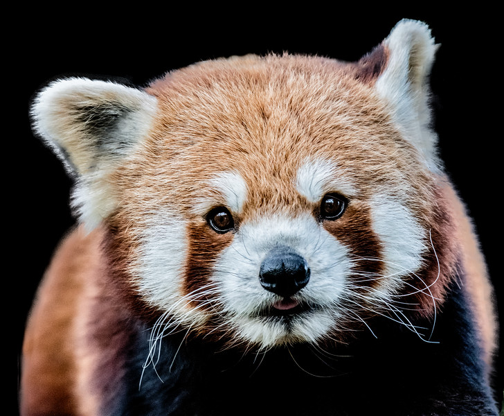 Red panda head close-up in front view