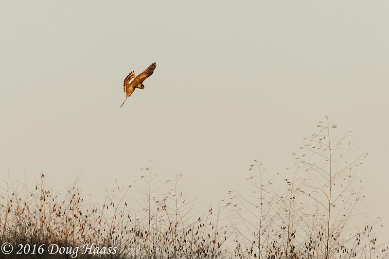 Northern Harrier Circus cyaneus female