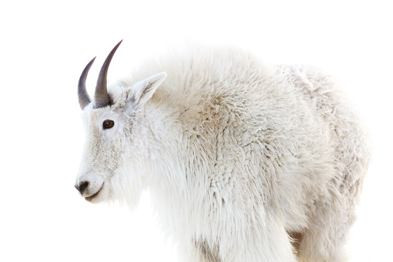 High Key Mountain Goat, Mount Evans, Colorado