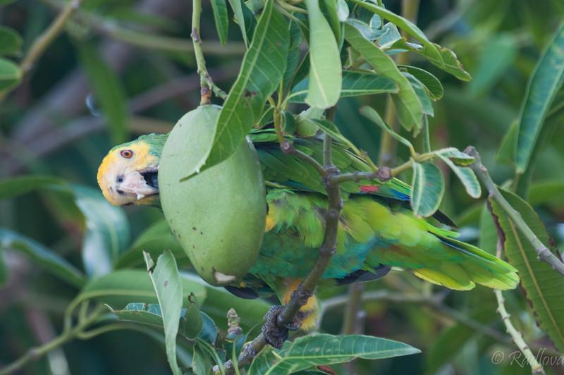 Eating Mango (1 of 1).jpg