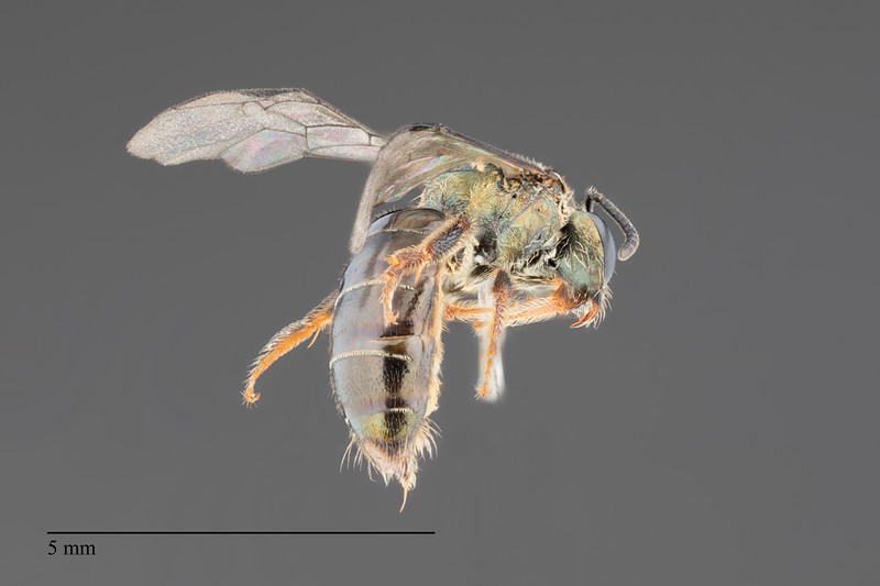 Homalictus ostridorsum