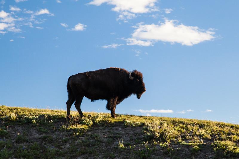 Bison at sunrise, Hayden Valley
