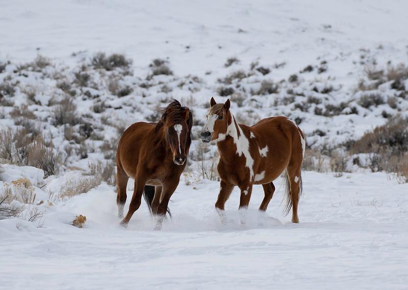 American Mustangs / Wild Horses