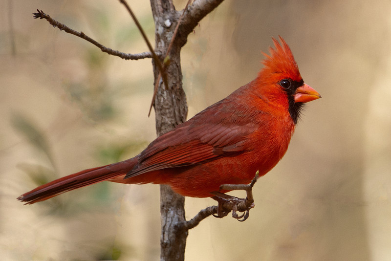 Cardinal - Northern - male - Wakulla Springs State Park, FL