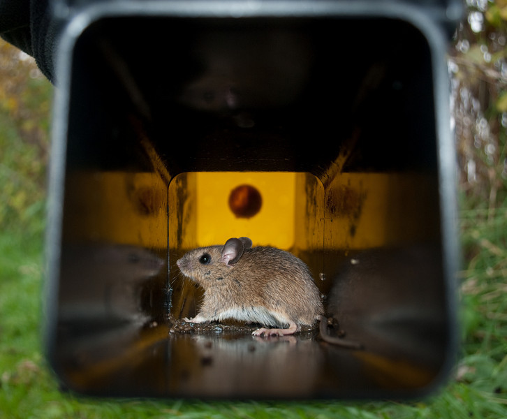 Scroghill mouse-1