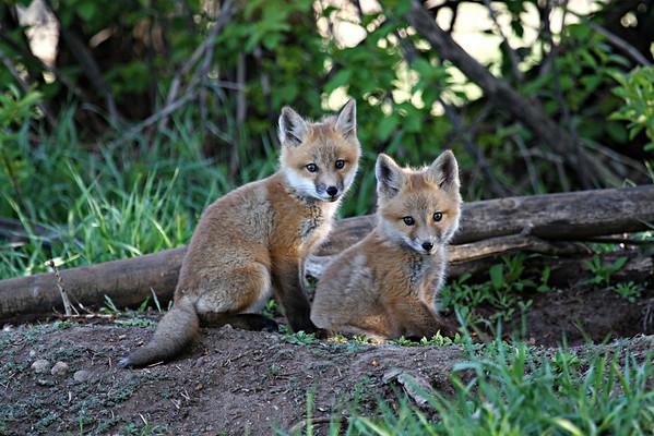 Fox Kit Photography