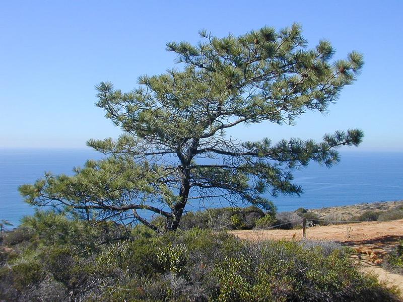 Torrey Pine (Pinus torreyana) PINACEAE