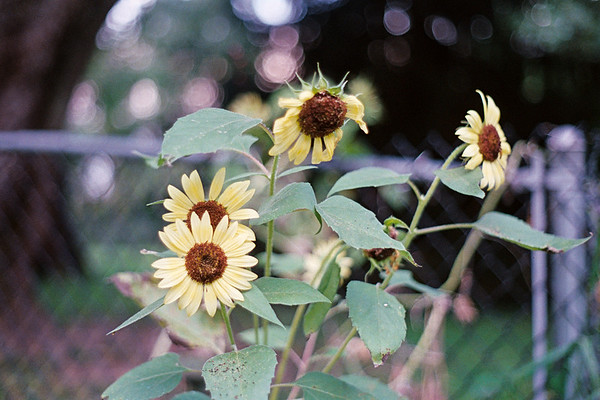 sunflower7