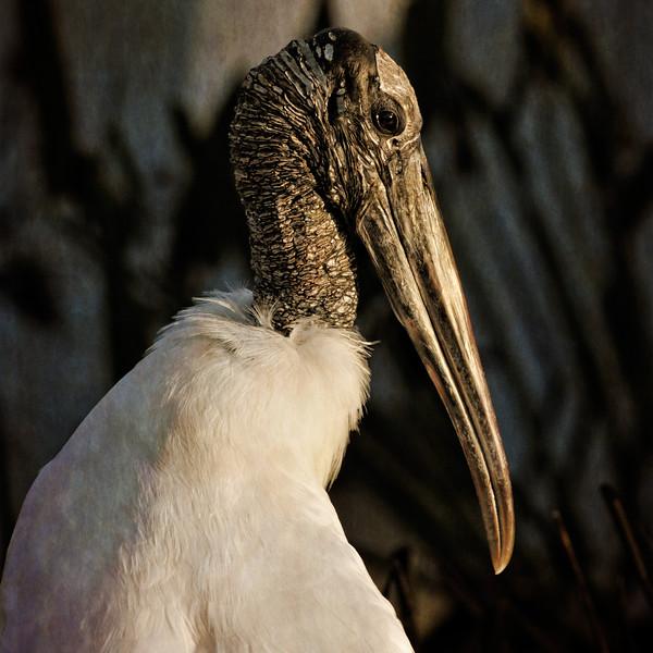 Wood Stork.
