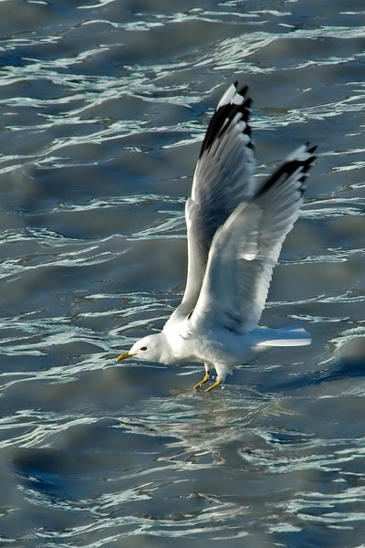 Gull - Mew - Glacier Bay, AK