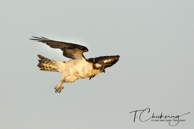 Osprey in Flight Ten-1558299397871.jpg