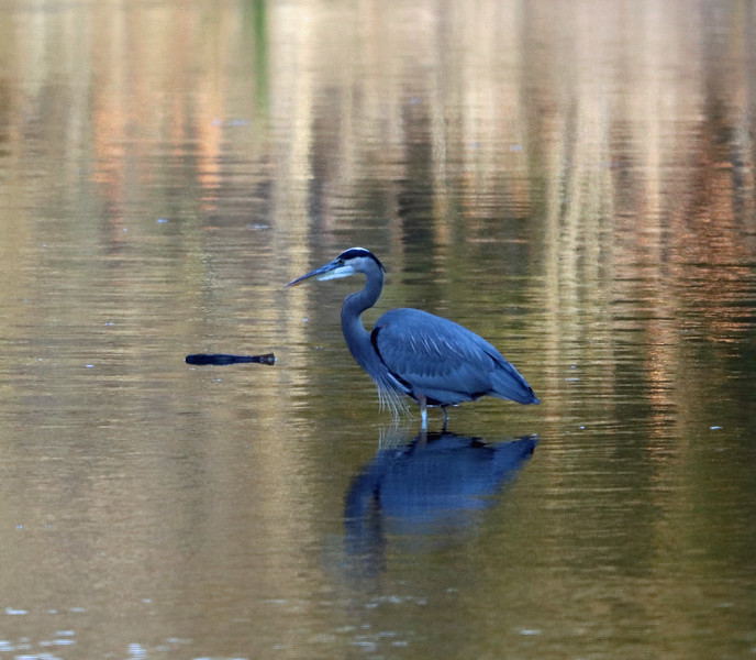 Great blue heron (very blue in late afternoon light) 1