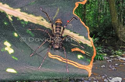 New Guinea Spiders Corinnidae (Corinnid Spiders)