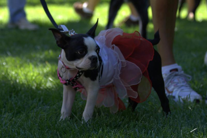 boston terrier oct 2010 114.jpg