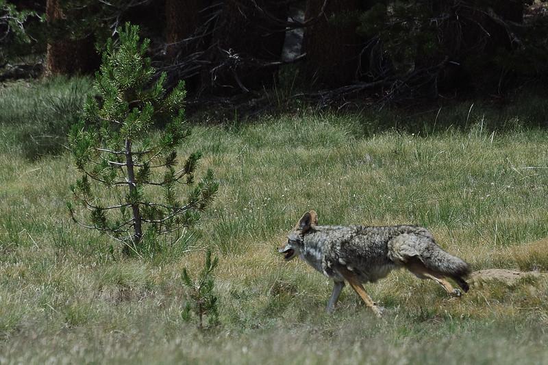 Running coyote, Yosemite National Park