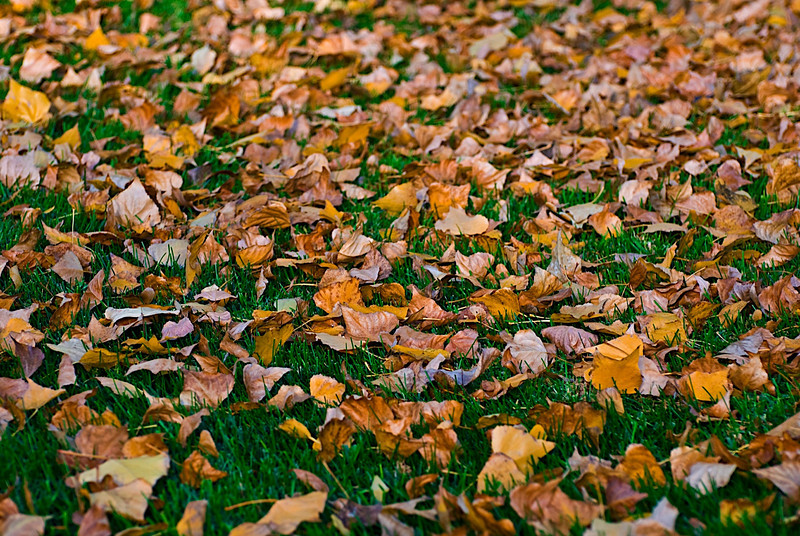 Autumn leaves on grass at Springwood Apartments.