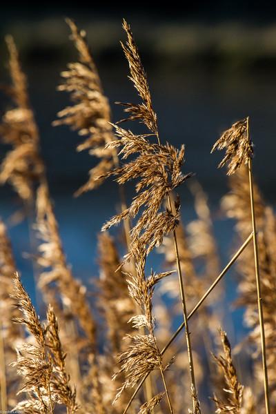 Maristow Reeds