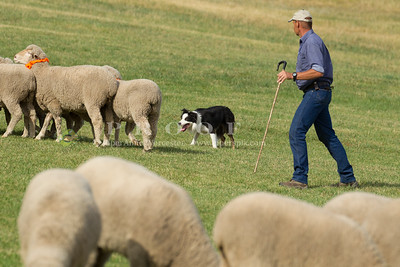 Herding Dog Trials