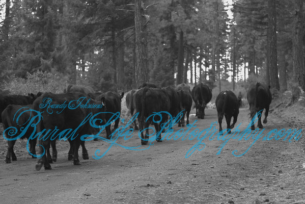 Cameron Fall Cattle Drive 2011
