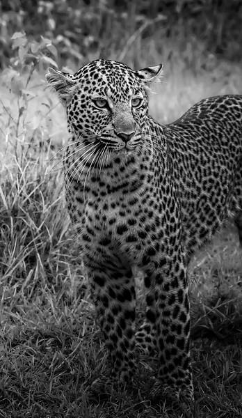 Standing Leopard B&W