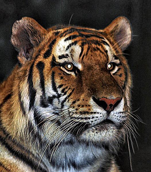 Mama ! Big-cat tiger  zoo.jpg