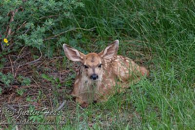 06-29-2021 Deer Fawn