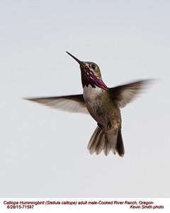 Calliope Hummingbird M71597.jpg