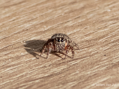 Jumping Spider (Salticidae sp.)