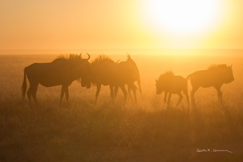 Wildebeest family in morning dust and light