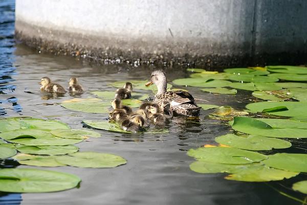 Lake Washington Birds - 07/2006