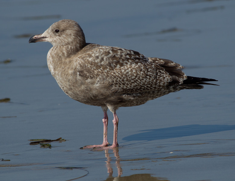 Herring Gull  Encinitas 2013 11 18 (20130918 of 2).CR2