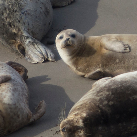 Pregnant Harbor Seals of Carpinteria