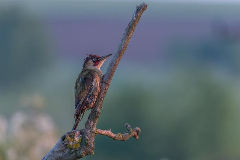 Birder's Corner - Woodpeckers