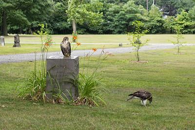 Hawks, Falcons, and Eagles