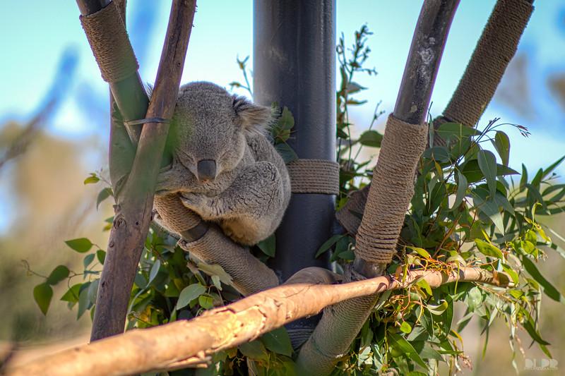 koala 006.jpg