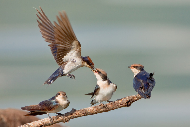 Wire-tailed Swallows (Hirundo smithii)