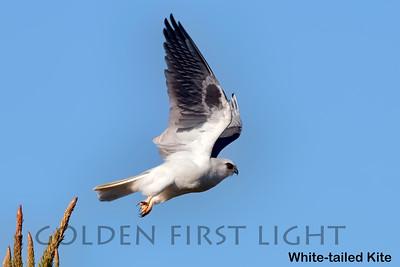 White-tailed Kite, Los Osos CA, USA