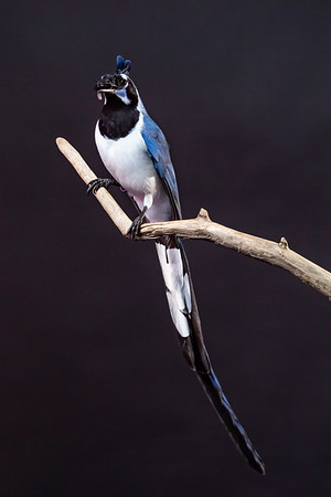 Pablo - The Black-throated Magpie-jay