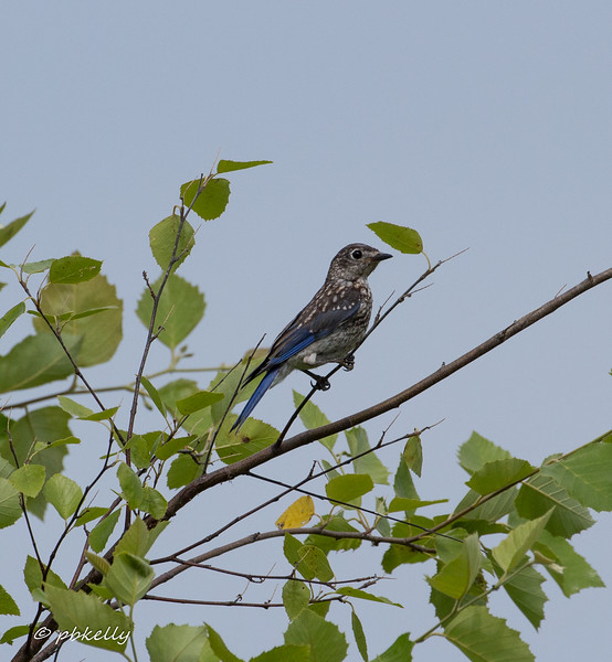 070617.  Juvenile Eastern Bluebird.  Fledged from one of the Bluebird boxes?