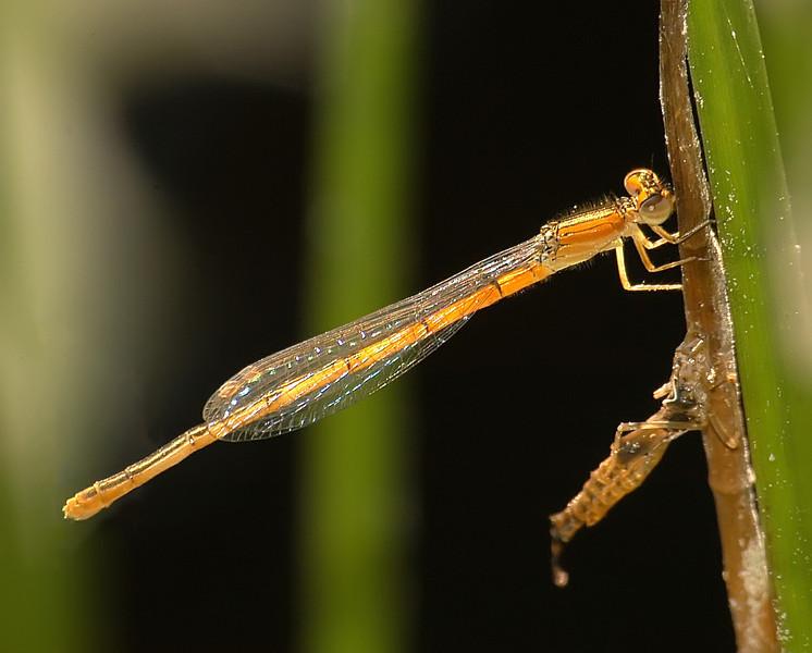 Ischnura hastata (Citrine Forktail), GA