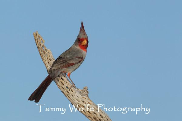 Cardinal, Desert
